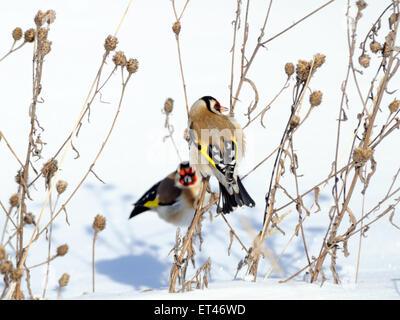 European goldfinch on burdock plant in winter - Stock Photo