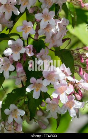 Early summer flowers of the Beauty bush, Kolkwitzia amabilis 'Pink Cloud' - Stock Photo