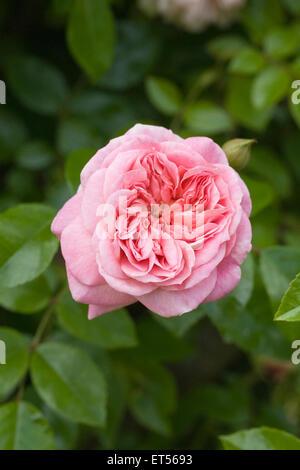 Rosa 'Paul Transon'. Rambler Rose. - Stock Photo