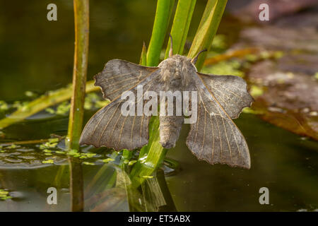 Poplar Hawkmoth - Stock Photo