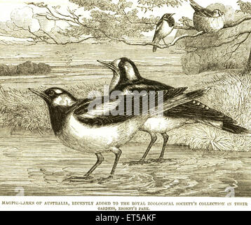 Lithographs magpie larks australia recently added royal zoological society's collection gardens regent's park I - Stock Photo