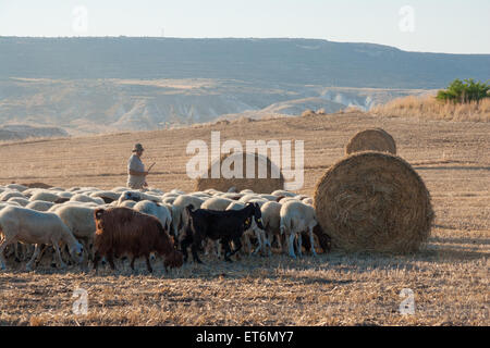Shepherd with his grazing sheep and goats in a field with hay bales in Troulloi village, Cyprus