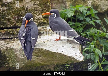 Inca Tern Larosterna South America - Stock Photo