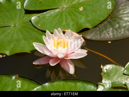 One pink water lily on water with reflection. - Stock Photo