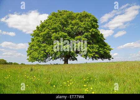 Oak Tree in Spring, Kent, England, Britain, UK.  Quercus outlined against the sky - Stock Photo
