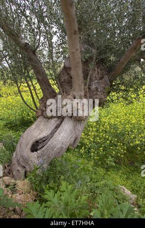 Kultur-Oelbaum, Kultur-Olivenbaum, Oelbaum, Olivenbaum (Olea europaea ssp. sativa), uralter Baum mit Baumhoehlen - Stock Photo