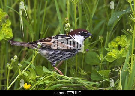 Weidensperling, Weiden-Sperling (Passer hispaniolensis), sitzt im Gras und frisst Samen, Griechenland, Lesbos | - Stock Photo