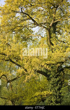 Stiel-Eiche, Stieleiche (Quercus robur), Eiche im Fruehling, Deutschland, Hessen, NSG Kuehkopf-Knoblochsaue   common - Stock Photo