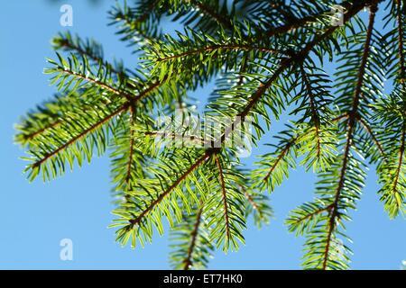 Gemeine Fichte, Gewoehnliche Fichte (Picea abies), Fichtenzweig im Gegenlicht gegen blauen Himmel, Oesterreich | - Stock Photo