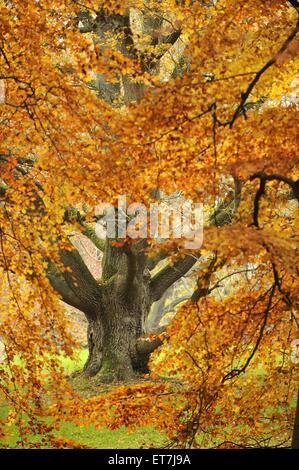 Stiel-Eiche, Stieleiche (Quercus robur), alte Eiche durch Herbstzweige betrachtet, Deutschland, Mecklenburg-Vorpommern, - Stock Photo