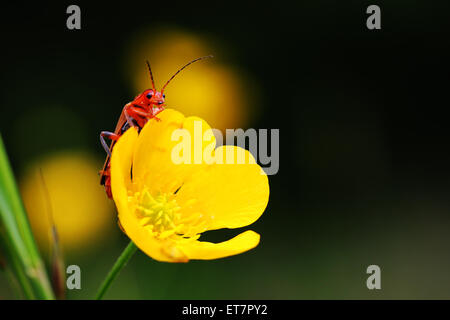 Solider beetle or leatherwing (Cantharidae) sitting on buttercup (Ranunculus), Baden-Württemberg, Germany - Stock Photo