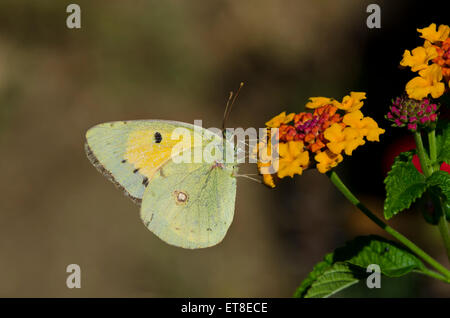 Dark Clouded Yellow or Common Clouded Yellow, butterfly, Colias croceus on Lantana camara, Spain. Andalusia. - Stock Photo