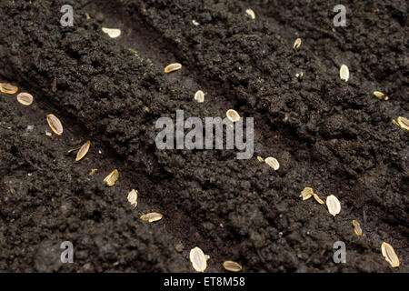 seeds planted in the ground in the garden.seed of wheat on brown soil in perfect light, with low sharp field - Stock Photo