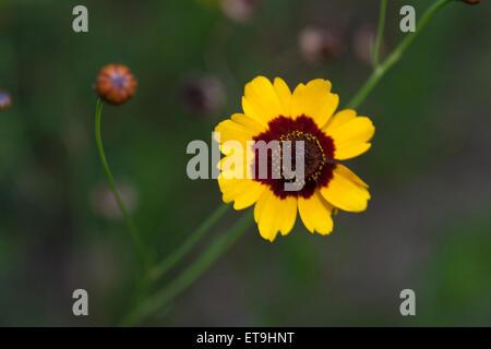 Yellow flower with brown middle stock photo 136418342 alamy beautiful yellow flower on dark green background stock photo mightylinksfo
