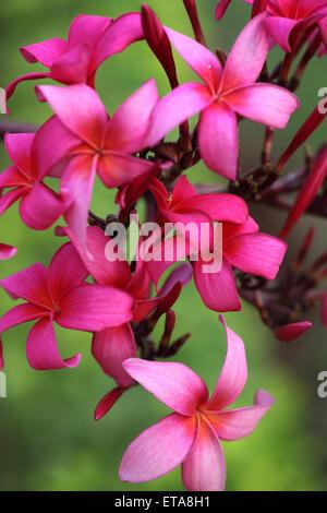 Branch of pink plumeria flowers in a garden - Stock Photo