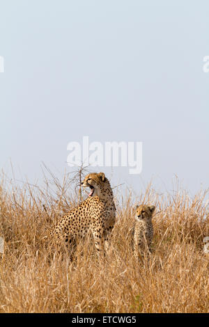 Yawning female cheetah and cub at Phinda Private Game Reserve, South Africa - Stock Photo