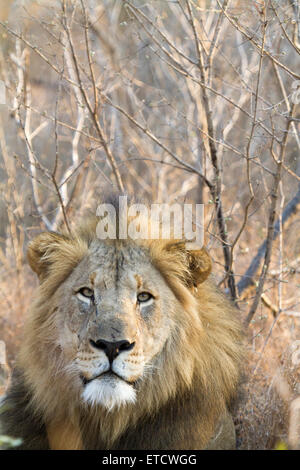 Male lion resting at Phinda Private Game Reserve, South Africa - Stock Photo