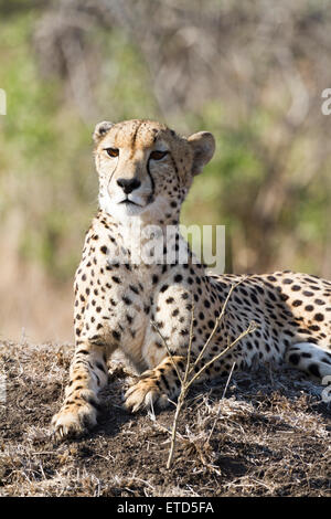 Female cheetah at Phinda Private Game Reserve, South Africa - Stock Photo