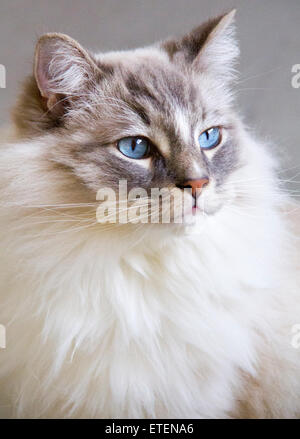 Portrait of the beautiful blue eyes  ragdoll cat. - Stock Photo