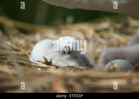 Mute Swan (Cygnus olor) cygnet asleep on the nest, while parents take other cygnets for their first swimming lesson - Stock Photo