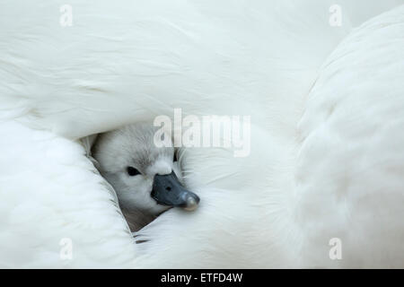Mute Swan (Cygnus olor) cygnet on the nest, while mother provides warmth and protection - Stock Photo