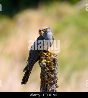 Cuckoo, Cuculus canorus, Dumfries & Galloway, Scotland - Stock Photo