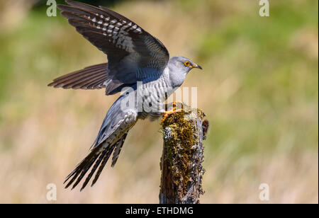 Cuckoo, Cuculus canorus, Dumfries & Galloway, Scotland - Stock Photo