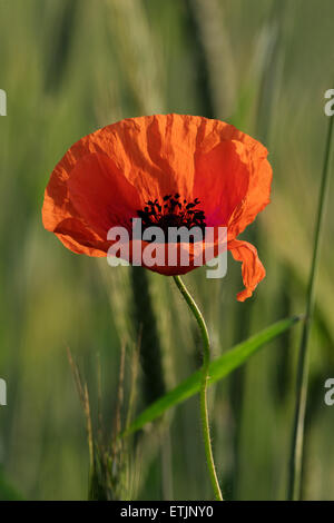 Poppies on the wheat field background in the morning - Stock Photo