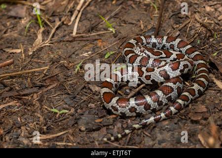 Juvenile eastern milk snake - Lampropeltis triangulum ...