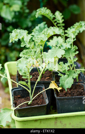 Kale seedlings in plastic pots - Stock Photo
