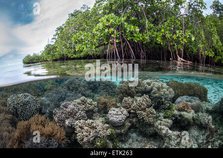 A healthy coral reef grows along the edge of a beautiful mangrove forest in Raja Ampat, Indonesia. - Stock Photo