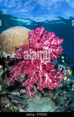 A colorful soft coral colony (Dendronephthya sp.) grows on a coral reef in Raja Ampat, Indonesia. - Stock Photo