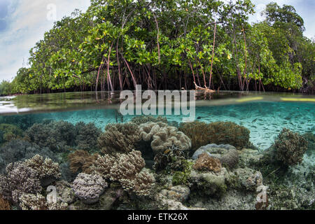 A variety of corals grow along the edge of a beautiful mangrove forest in Raja Ampat, Indonesia. - Stock Photo