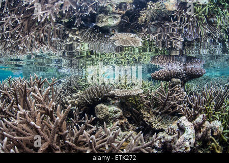 Reef-building corals grow in shallow water in Raja Ampat, Indonesia. This remote region harbors a wide variety of - Stock Photo