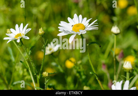 Leucanthemum vulgare (AKA Chrysanthemum leucanthemum) or Oxeye Daisies growing in Summer in West Sussex, England, - Stock Photo