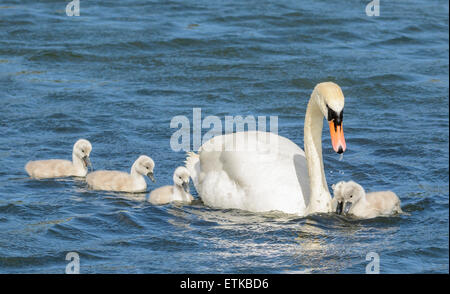 A white Mute Swan with cygnets (cygnus olor) swimming on a lake in Summer in West Sussex, England, UK. - Stock Photo