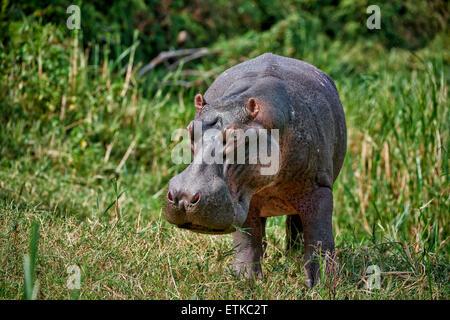 Hippopotamus, Hippopotamus amphibius, Kazinga Channel, Queen Elizabeth National Park, Uganda, Africa - Stock Photo