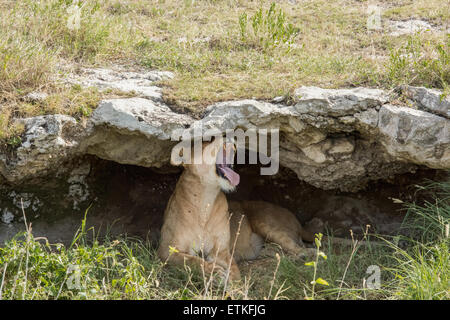 Lioness in a cave, yawning, Serengeti National Park, Tanzania - Stock Photo