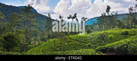 Tea plantation in the 'tea country', aka 'hill country' and 'Sri Lanka Central Highlands', Nuwara Eliya District - Stock Photo