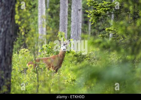 The European roe deer (Capreolus capreolus) - Stock Photo