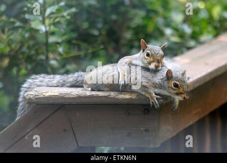 Eastern grey gray squirrels (Sciurus carolinensis) laying together on deck rail. - Stock Photo