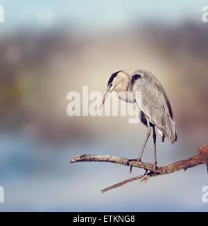 Great Blue Heron Perches On A Branch Stock Photo
