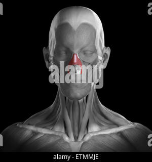 Conceptual image of the muscles of the face with the nasalis muscles highlighted. - Stock Photo