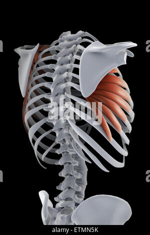 Illustration showing the serratus muscles and part of the skeleton. - Stock Photo