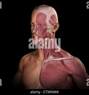Conceptual image of the face and upper body, with muscles exposed on one side. - Stock Photo