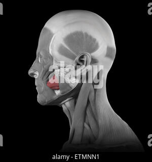 Conceptual image of the muscles of the face with the buccinator muscles highlighted. - Stock Photo
