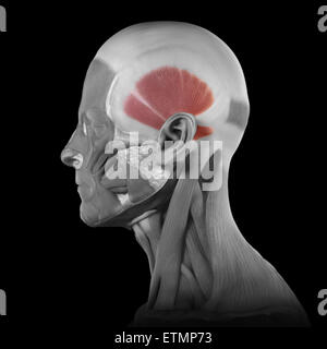 Conceptual image of the muscles of the face with the temporalis muscles highlighted. - Stock Photo