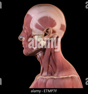 Conceptual image of the face with muscles exposed on one side. - Stock Photo