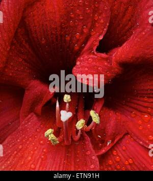 Close-up of a red Amaryllis flower - Stock Photo