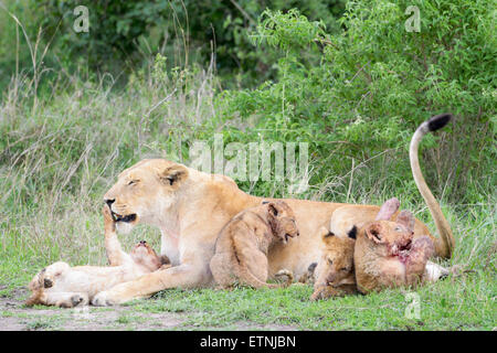 Lion cubs (Panthera leo) playing with lioness mother on the savanna, Serengeti national park, Tanzania. - Stock Photo